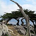 Weathered Tree On California Coast by Carla Parris