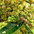 Webworm Moth by Donna Brown