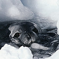 Weddell Seal by Doug Allan