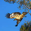 Wedge-tailed Eagle by Andrew McInnes