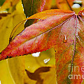 Weeping Red Leaf by Jim And Emily Bush