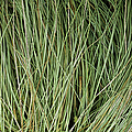 Weeping Sedge (carex Oshimensis) by Archie Young