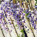 Weeping Wisteria by Andee Design