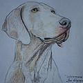 Weimaraner Dog by M Valeriano