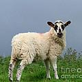 Wensleydale Lamb by Louise Heusinkveld