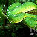 West Amazonian Emerald Tree Boa by Dant� Fenolio