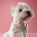 West Highland Terrier Wearing Pearl Necklace by Chris Amaral