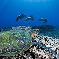 West Maui Sea Turtles by Dave Fleetham