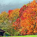 West Virginia Maples 2 by Steve Harrington