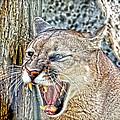 Western Cougar by Steve McKinzie