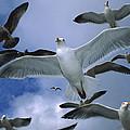 Western Gull Larus Occidentalis Flock by Michael Durham/ Minden Pictures