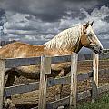 Western Palomino Horse In Alberta Canada No.1335 by Randall Nyhof