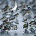 Western Sandpiper Calidris Mauri Flock by Michael Quinton