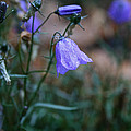 Wet Bellflower by Susan Herber