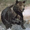 Wet Grizzly Bear Running In Stream by David Ponton