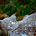 Wet Leaf by Susan Herber