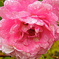 Wet Rose by Stephanie Moore