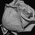 Wet White Rose by Debbie Portwood