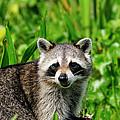 Wetlands Racoon Bandit by Bill Dodsworth