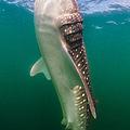 Whale Shark, La Paz, Mexico by Todd Winner