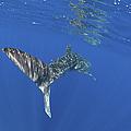 Whale Shark Tail Near Surface With Sun by Mathieu Meur