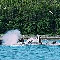 Whales Bubble Net Feeding by Eric Tressler