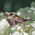 What A Schnoz On That American Snout Butterfly by Kathy Clark