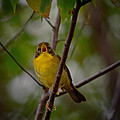 What Warblers Do by Susan Capuano
