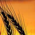 Wheat At Sunset by Alan Hutchins