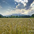 Wheat Field by Mats Silvan