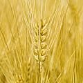 Wheat by Paul Rapson