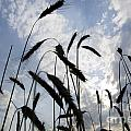 Wheat With Blue Sky by Mats Silvan