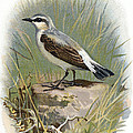 Wheatear, Historical Artwork by Sheila Terry