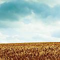 Wheatfield And Cloudy Sky by Olivier De Rycke
