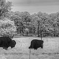 Where The Buffalo Roam by Jane Linders