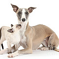 Whippet And Siamese Kitten by Mark Taylor