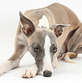 Whippet by Mark Taylor