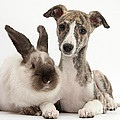 Whippet Pup With Colorpoint Rabbit by Mark Taylor