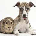 Whippet Pup With Guinea Pig by Mark Taylor
