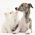Whippet Puppy And Kitten by Mark Taylor