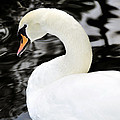 Whistling Swan by David Lee Thompson