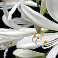 White Agapantha by Kaye Menner