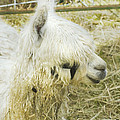 White Alpaca Photograph by Keith Webber Jr