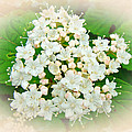 White And Cream Hydrangea Blossoms by Mother Nature