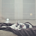 White And Grey Cat Lying On Brown Blanket by Cindy Prins