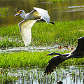White And Grey Herons In Flight by Diana Haronis