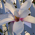 White And Pink Magnolia by Cynthia Amaral