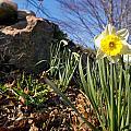 White And Yellow Daffodil Flower by Matt Suess