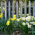 White And Yellow Daffodils by Matt Suess