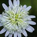 White Aster by Fran Gallogly